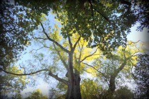 Quercus Phellos, Angers